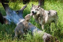 Grauer Wolf mit Welpen Stockfotografie