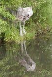 Grauer Wolf und Welpe mit Reflexion im See Stockfotografie