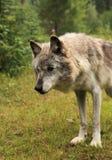 Grauer WolfCanis Lupus Lizenzfreie Stockfotografie