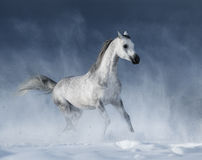 Graues arabisches Pferd, das während eines Schneesturmes galoppiert Stockbild