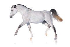 Graues arabisches Pferd getrennt Lizenzfreies Stockbild