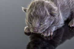 Graues blindes Kätzchen Stockbild