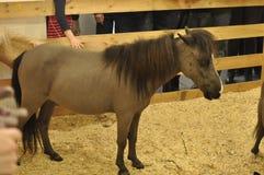 Graues braunes kleines Pferd Stockbild