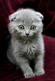 Graues britisches Kätzchen Stockfoto