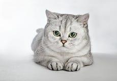 Graues britisches Shorthair Porträt der Britisch Kurzhaar-Katze liegend auf einem grauen Hintergrund stockfotografie