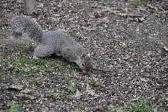 Graues Eichhörnchen lizenzfreie stockbilder