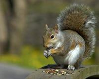 Graues Eichhörnchen Lizenzfreies Stockbild