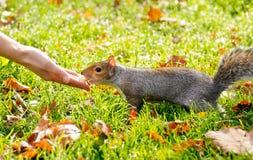 Graues Eichhörnchen Stockfotografie