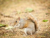 Graues Eichhörnchen Lizenzfreie Stockfotos