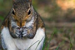 Graues Eichhörnchen stockbilder