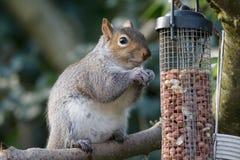 Graues Eichhörnchen Lizenzfreies Stockfoto