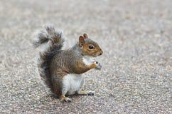 Graues Eichhörnchen Stockbild