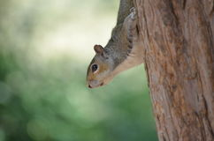 Graues Eichhörnchen Stockfotos