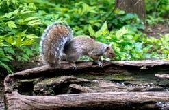 Graues Eichhörnchen auf einem geheiligten heraus Klotz lizenzfreie stockfotografie