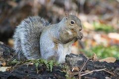 Graues Eichhörnchen auf einem Klotz Lizenzfreies Stockfoto