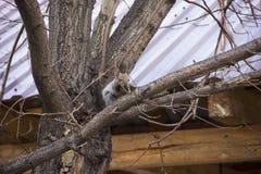 Graues Eichhörnchen, das auf den Niederlassungen eines Baums ohne Blätter sitzt stockfotografie