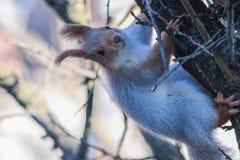 Graues Eichhörnchen, das auf einem Baumstamm sitzt stockbild
