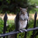 Graues Eichhörnchen, das auf einem Geländer in einem Park steht stockfotografie