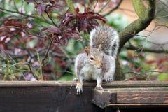 Graues Eichhörnchen, das auf einem Zaun sitzt Lizenzfreies Stockbild