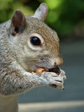 Graues Eichhörnchen, das eine Erdnuss isst Stockbild
