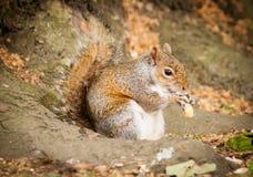 Graues Eichhörnchen, das eine Erdnuss isst Stockfotografie