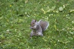 Graues Eichhörnchen, das in einem Yard isst stockfoto