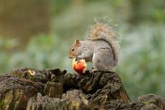 Graues Eichhörnchen, das einen roten Apfel mit dem buschigen Schwanz isst Stockfoto