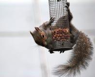 Graues Eichhörnchen, das an einer Vogelzufuhr hängt. Stockbild