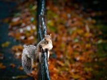 Graues Eichhörnchen, das entlang ich anstarrt Lizenzfreies Stockfoto
