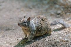 Graues Eichhörnchen, das etwas betrachtet Lizenzfreies Stockfoto