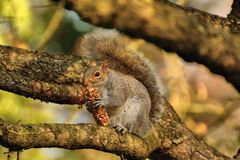 Graues Eichhörnchen, das Frühstücksbar isst Lizenzfreies Stockfoto