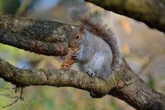 Graues Eichhörnchen, das Frühstücksbar isst Stockfotos