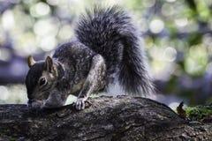 Graues Eichhörnchen, das Nüsse auf einer großen Niederlassung sammelt lizenzfreies stockfoto
