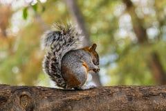 Graues Eichhörnchen, das Nuss isst Lizenzfreies Stockfoto