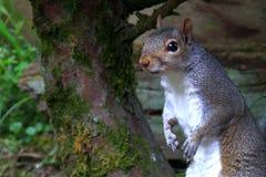 Graues Eichhörnchen, das unter Busch sich versteckt Stockfoto