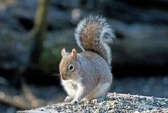 Graues Eichhörnchen, das zu Mittag isst Stockbilder