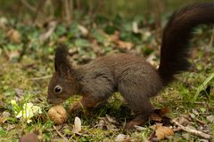 Graues Eichhörnchen im Holz eine Walnuss essend Lizenzfreie Stockfotografie