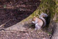 Graues Eichhörnchen mit Affenuß lizenzfreie stockfotografie