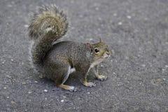 Graues Eichhörnchen am NC-Zoo lizenzfreies stockfoto