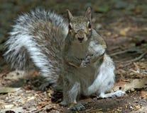Graues Eichhörnchen neugierig Lizenzfreie Stockfotos