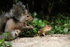 Graues Eichhörnchen und Chipmunk Lizenzfreie Stockfotos