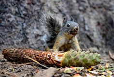 Graues Eichhörnchenessen pinecone Stockfoto