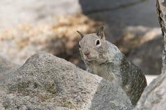 Graues Eichhörnchenporträt Stockfotografie