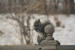 Graues Eichhörnchenportrait Lizenzfreie Stockfotografie