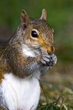 Graues Eichhörnchen Stockfoto