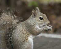 Graues Eichhörnchen, das eine Erdnuss isst Lizenzfreies Stockbild