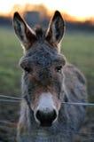 Graues Esel-Porträt Stockbild