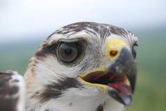 Graues Falke-Portrait Stockbild