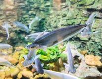 Graues featherback im kleinen Aquarium Stockbild