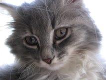 Graues flaumiges Kätzchen schaut nah helle Augen lizenzfreie stockbilder